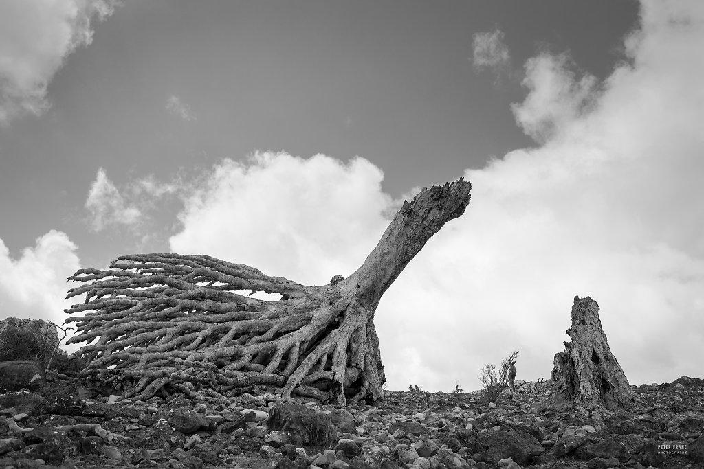 Socotra Island, Fallen Dragonsblood Tree, 2010