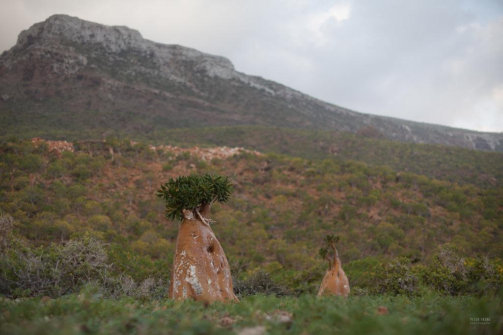 Socotra Island, Cucumber Trees, 2010