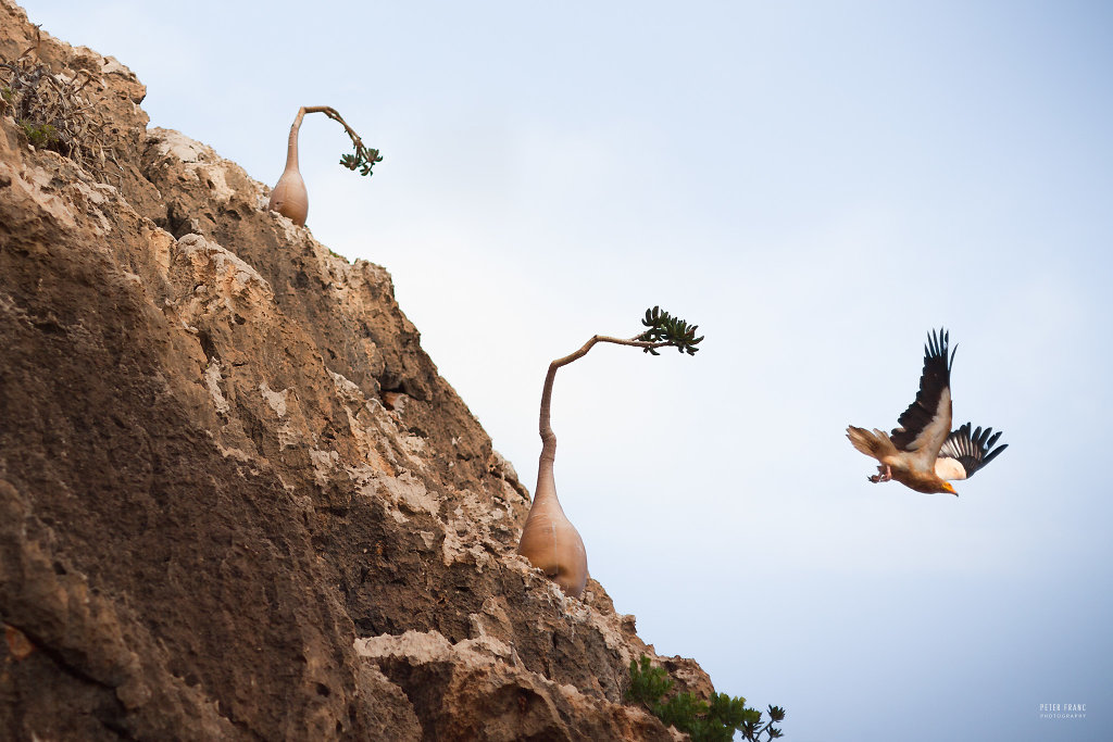 Socotra Island, Desert Rose and Egyptian Vulture, 2010
